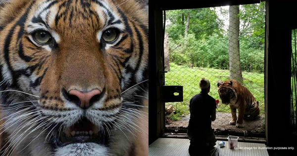 Malayan Tiger Tests Positive For COVID-19 After Zookeepers Find ...
