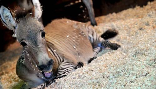 Ippo, a three month old zonkey, a crossing between a zebra and a donkey, lies in its pen in a reserve in Florence, on Oct 11, 2013. -- FILE PHOTO: AFP