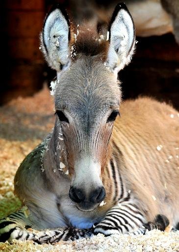 Ippo, a three month old zonkey, a cross between a zebra and a donkey, lies in its enclosure at an animal shelter in Florence, on October 11, 2013