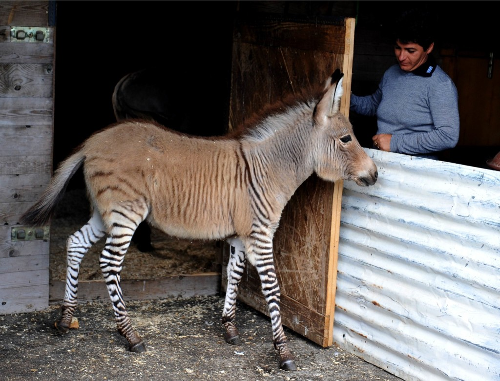 "Ippo, a three month old ""zonkey"", a crossing between a zebra and a donkey, stands in its pen in a reserve in Florence, on October 11, 2013. (AFP Photo)"
