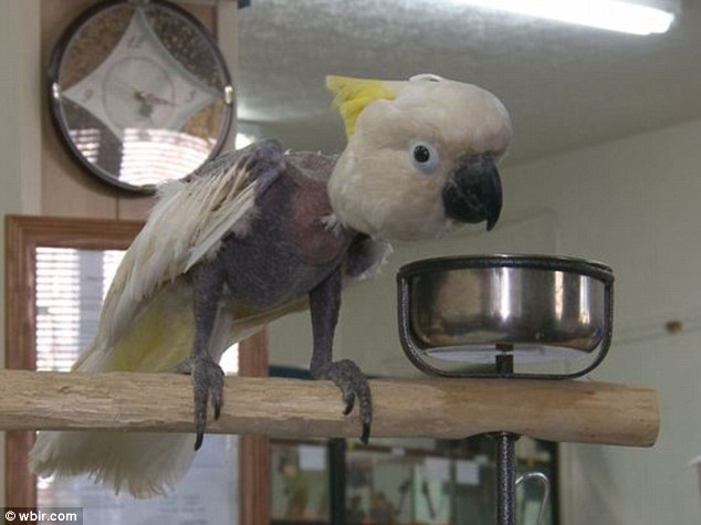 During a drug raid, Lollibaby was found with all her feathers fallen out due to living in close proximity to the toxic chemicals.