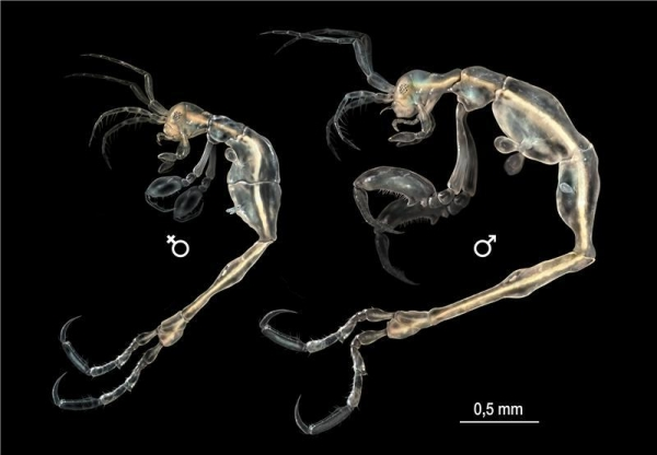 A dainty, but menacing-looking new species of marine crustacean has been identified in California by an international team of researchers. Pictured is an illustration of female and male Liropus minusculus. Photo: SINC