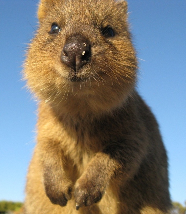 Photos To Prove That The Quokka Is Indeed The Cutest ...