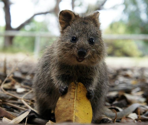 Photos To Prove That The Quokka Is Indeed The Cutest ...  Photos To Prove...