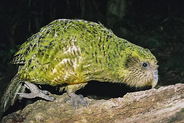 The Kakapo, also called owl parrot, is the heaviest parrot species in the world and the only one which cannot fly