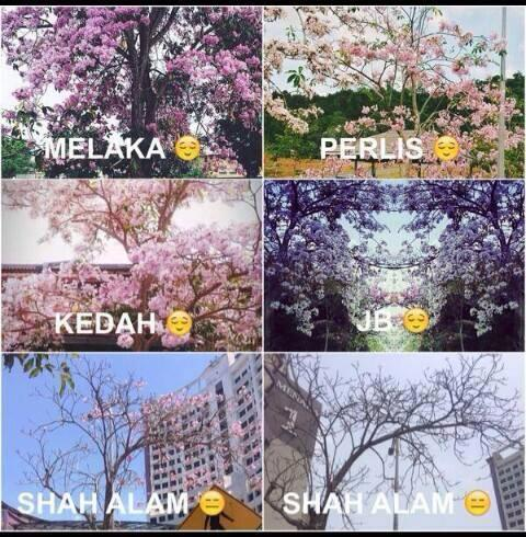Sakura blooms in all over Malaysia.