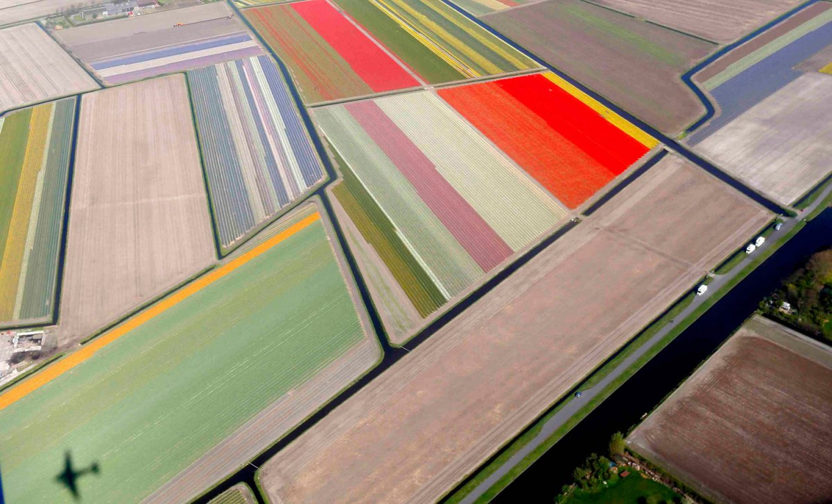 The shadow of a plane is seen over fields of tulips in Netherlands
