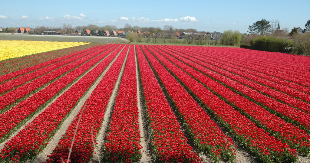 Millions and millions of tulips