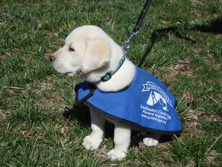 Guide dogs are trained since young, to ensure that they can properly assist the owner