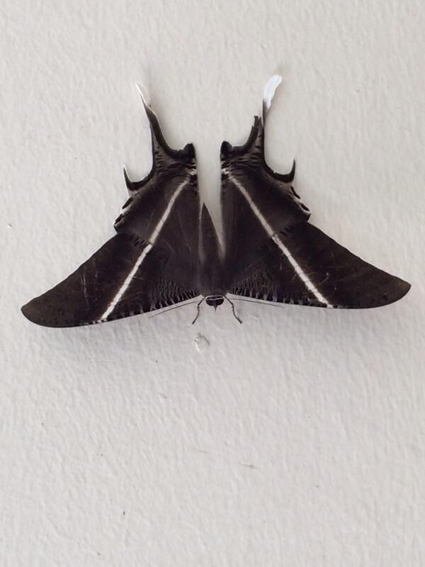 Lyssa Zampa, or Tropical Swallowtail Moth, worlds 2nd largest.