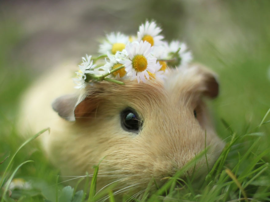 A photo of Booboo the guinea pig, by Lieveheerbeestje.