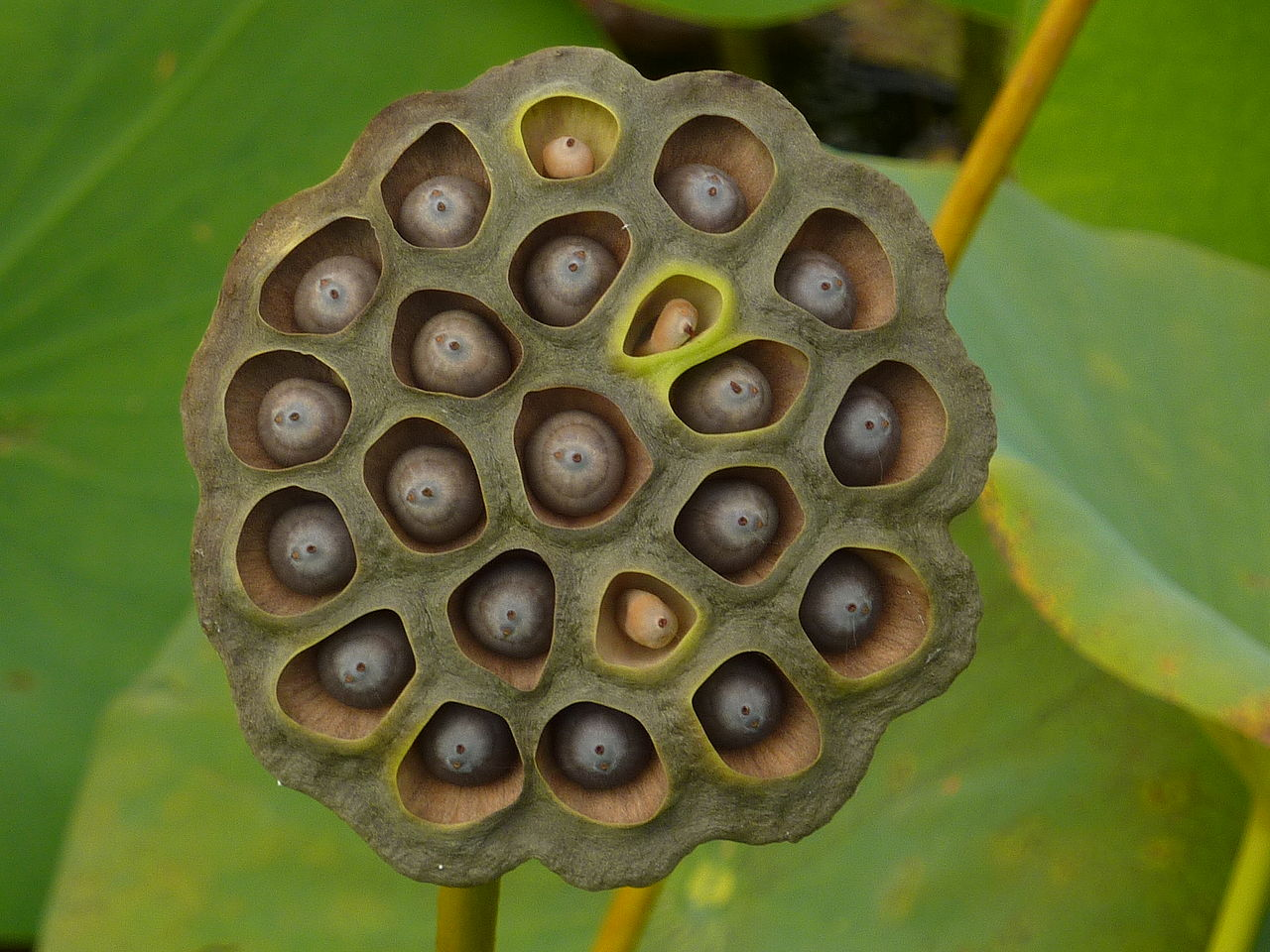 If Your Friend Shared That Lotus Seed Post Do Them A Favour End