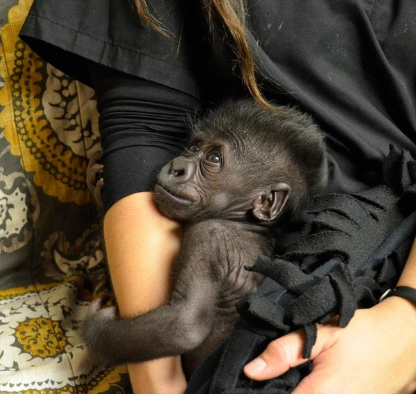 Abandoned By Her Mother And Raised By Humans, Baby Gorilla