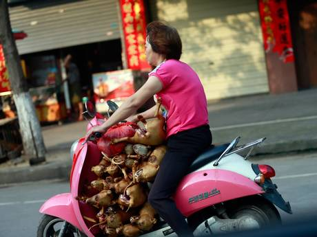 A woman on her moped transports more than 10 dogs, which had just been slaughtered, to her market shop for sale.