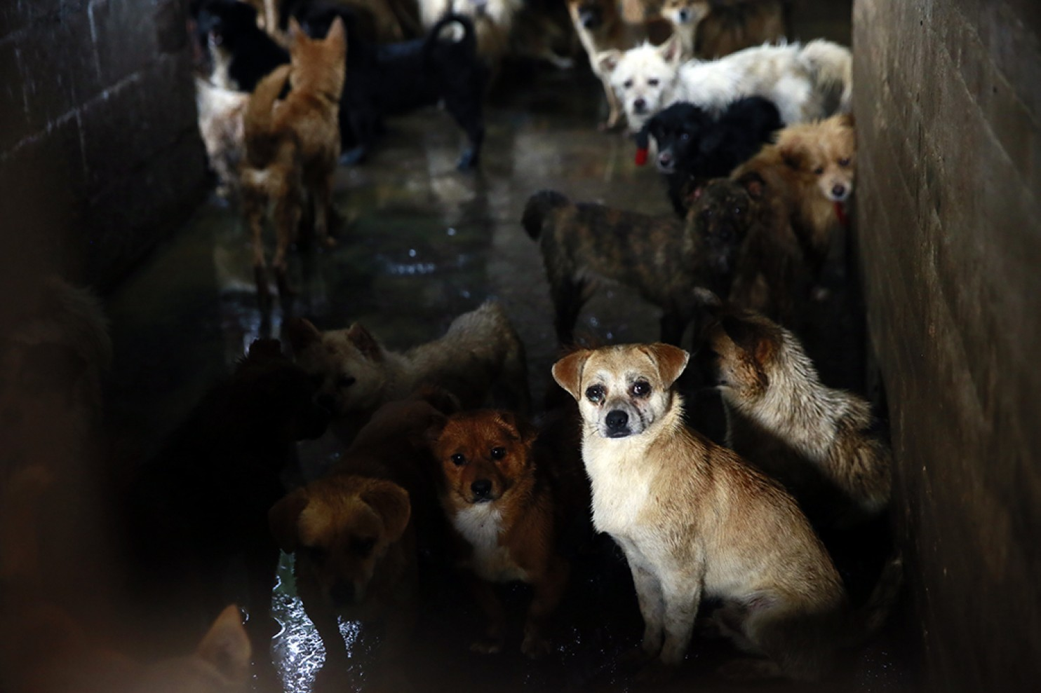 Pet dogs await their own death in a slaughterhouse, while they watch as others are slaughtered in front of them.
