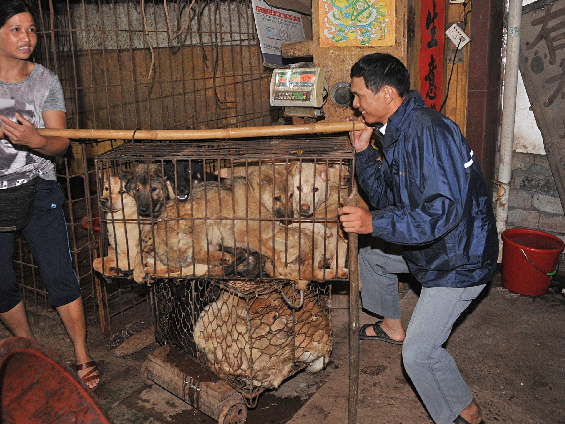 Chinese vendors transport cages of dogs to be killed and eaten at the Yulin annual summer solstice festival.