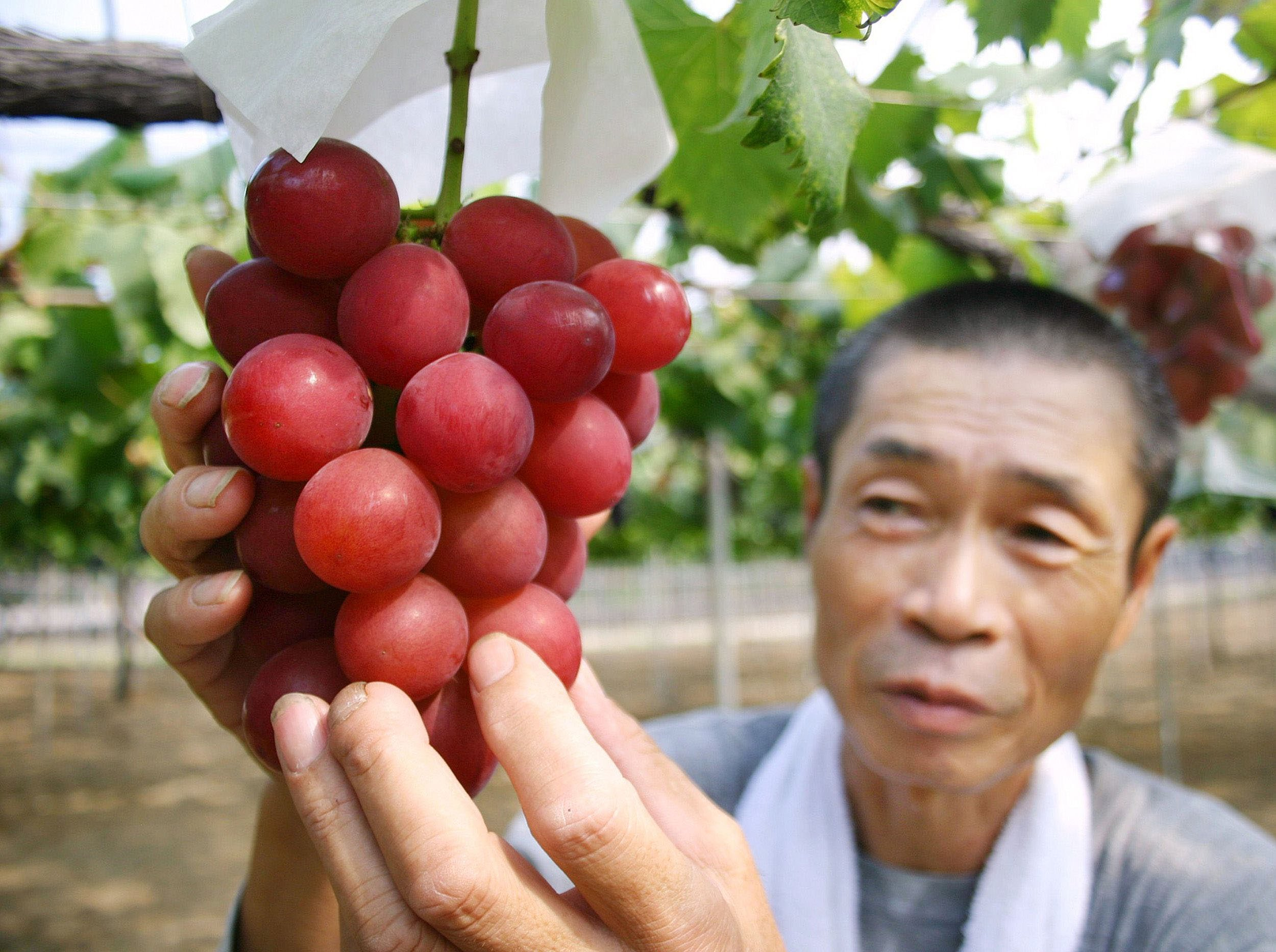 Japanese farmer Tsutomu Takemori displays a cluster of recently-developed 'Ruby Roman' grapes at his vineyard in Kahoku city in Ishikawa prefecture, northern Japan in August 2008.