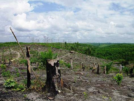 Forest cleared for oil palm plantation to be cultivated