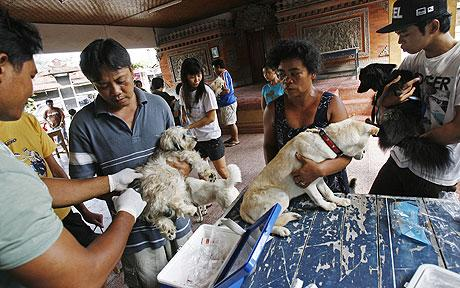 A dog is vaccinated in Bali following an outbreak of rabies.