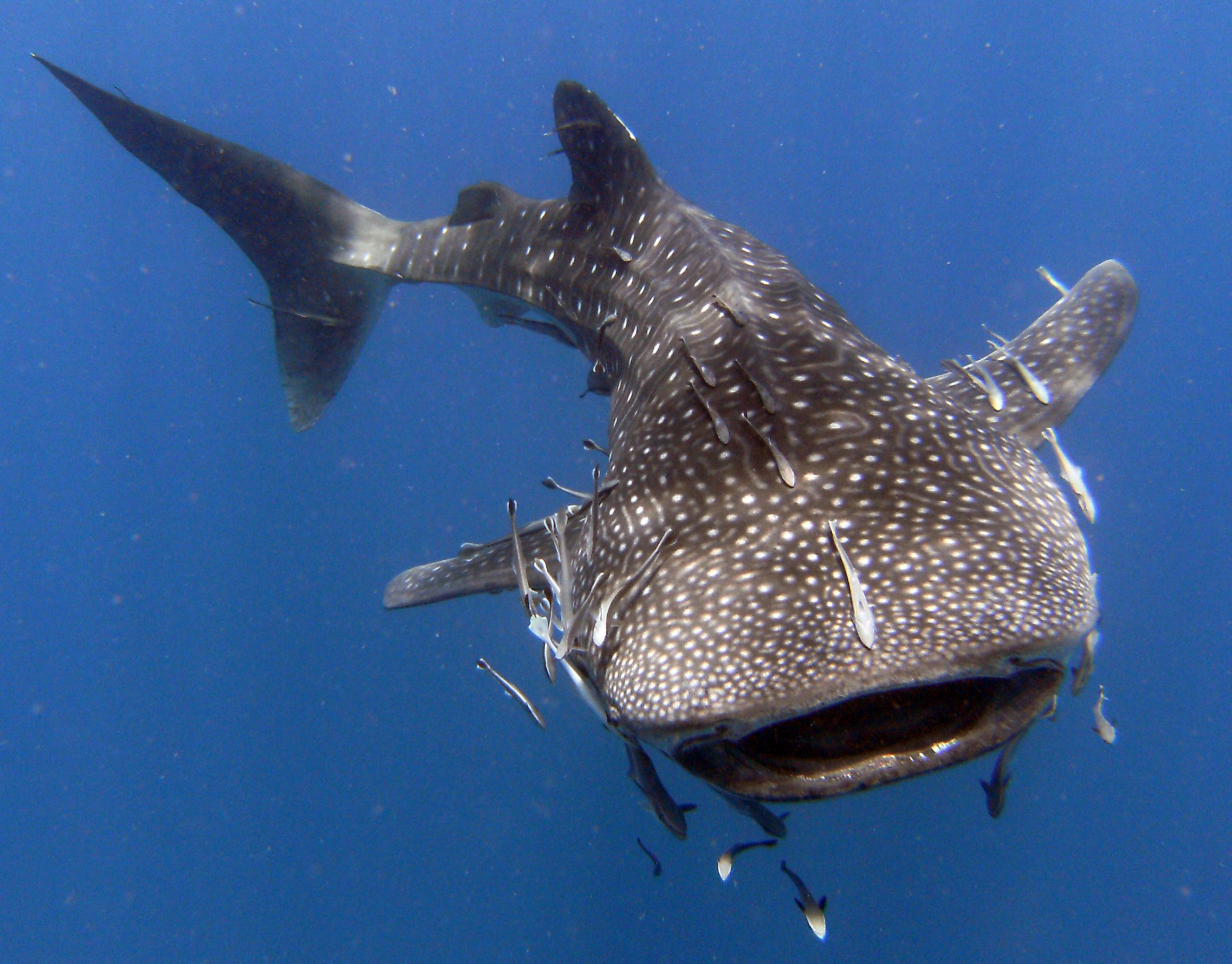 The massive yet gentle Whale Shark is at least the length of a bus and weighs around 19 tonnes.