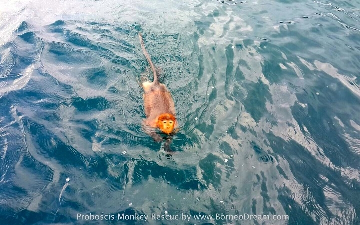 The stranded Proboscis monkey swimming to boat.