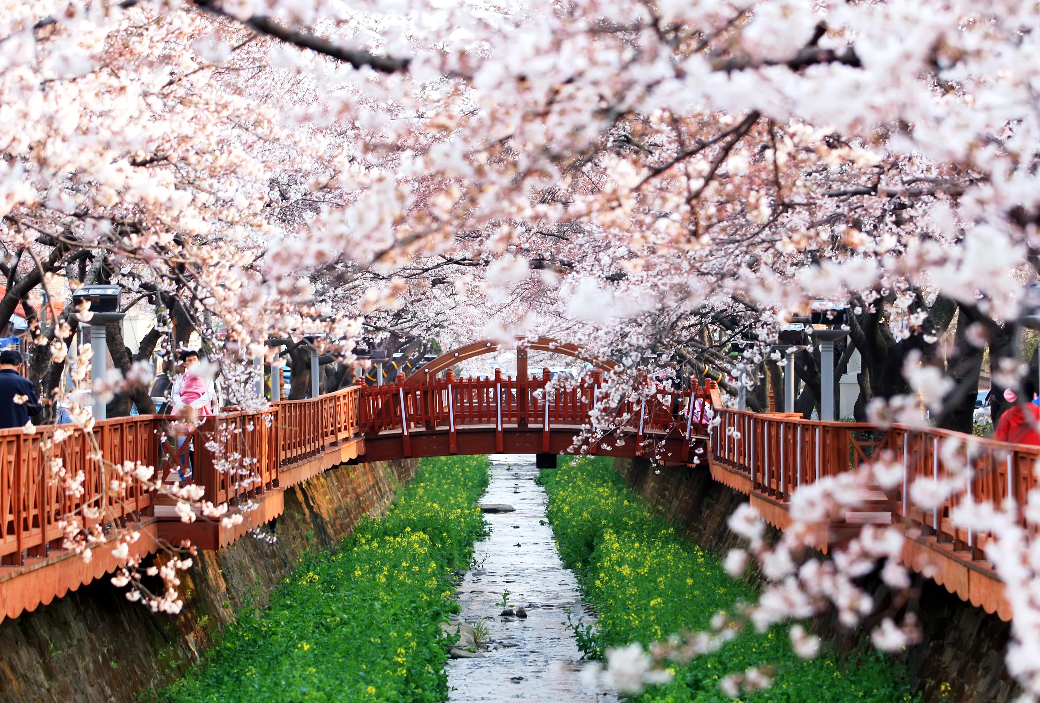 cherry blossom festival - HD3933×2660