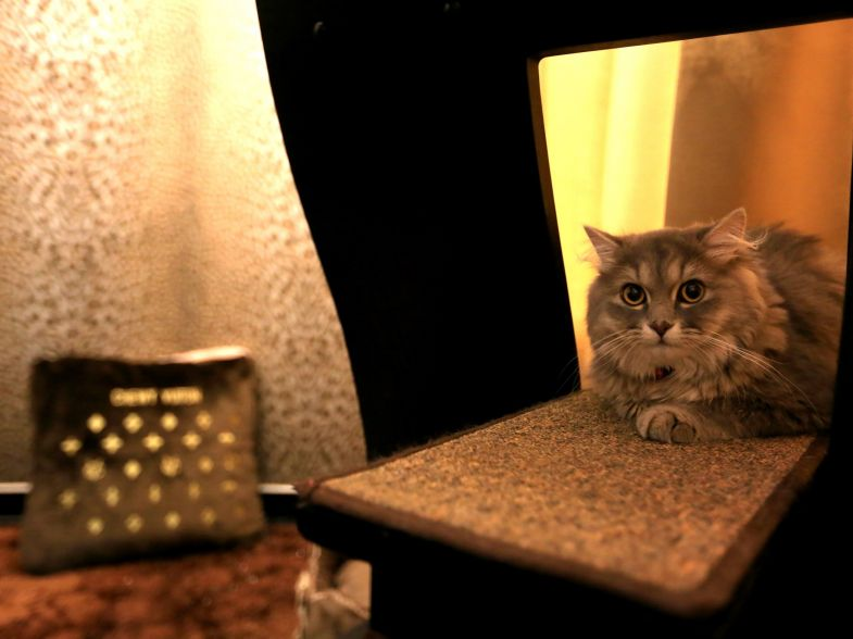 A cat resting in the The Royal Feline Sutie at the Purrfection Suites.
