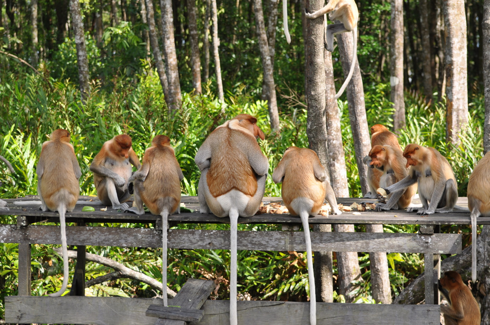 Proboscis monkey that is endemic to the southeast Asian island of Borneo