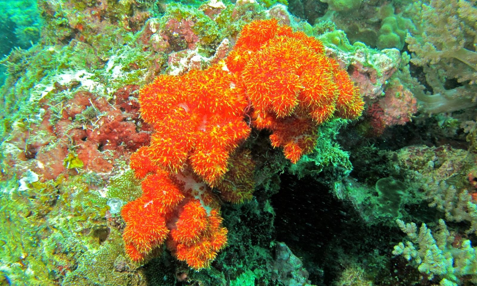 Tree Coral (Dendronephthya sp.) at Black Ray Channel, Pulau Kapalai, Sabah