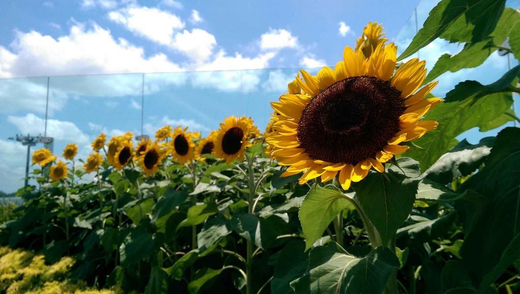 Sunflower Garden.
