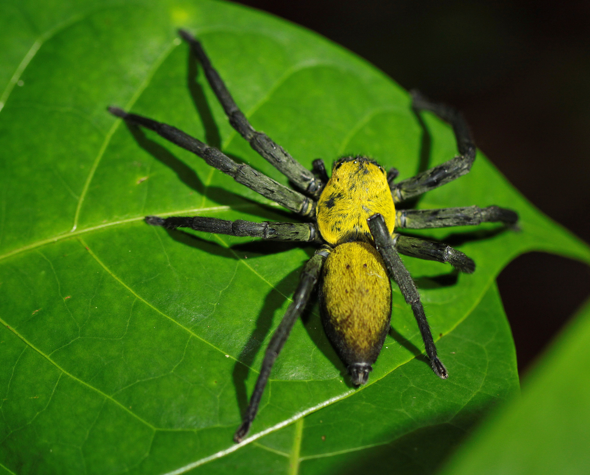 Malaysian black and gold huntsman