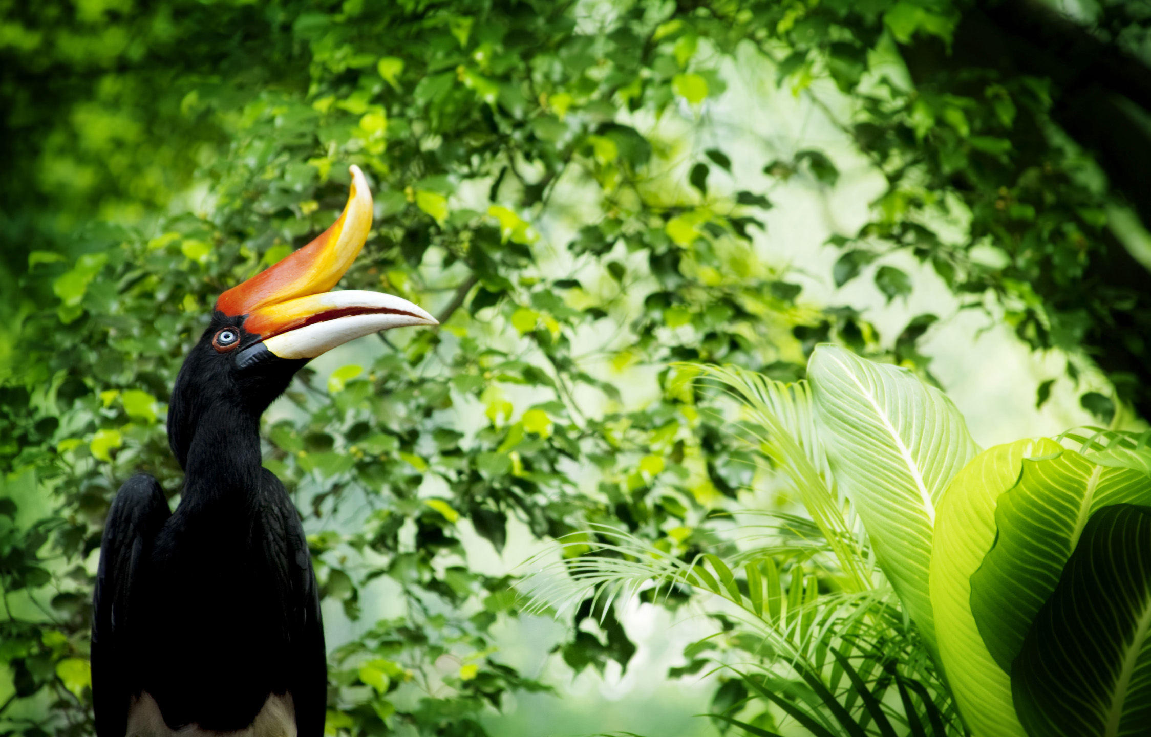 Sarawak's state bird, the Hornbill is thought to be the messenger between god and men by the Iban people
