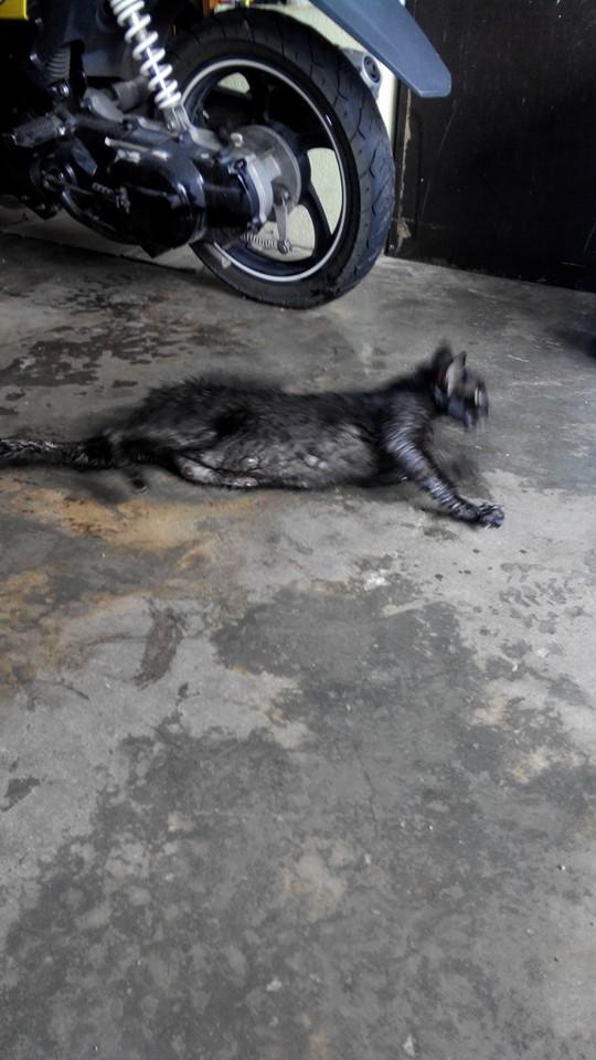 Kucing 2: Baru melahirkan anak minggu lepas. Kini tinggal anak2nya tanpa ibu..