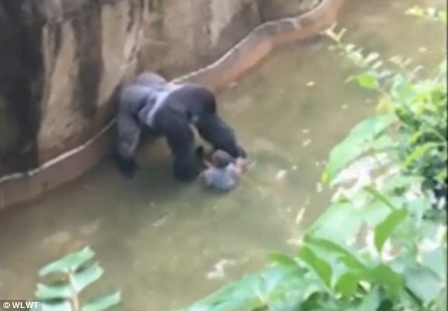 A special zoo response team shot and killed a 17-year-old gorilla named Harambe (pictured) that grabbed and dragged a four-year-old boy who fell into its gorilla exhibit moat, the Cincinnati Zoo's director said.