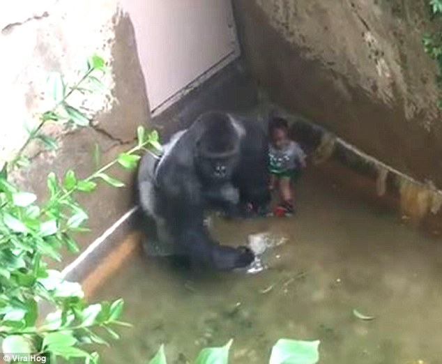 Harambe appears to stand in front of the boy in a corner of the moat. Some people have suggested that it was trying to shield the child from panicked bystanders.