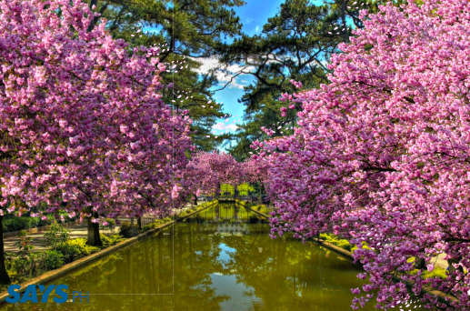 philippines cherry blossoms