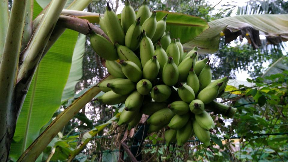 A bunch of unripened bananas at the 'Garden of Life'.