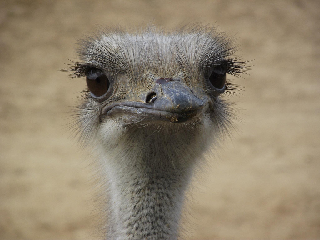 Cute image of ostrich's face for illustration purposes only