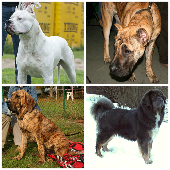 Clockwise from top left: Argentine Mastiff (Dogo Argentino), Brazilian Mastiff (Fila Brasileiro), Tibetan Mastiff, and Canary Mastiff (Perro de Presa Canario).