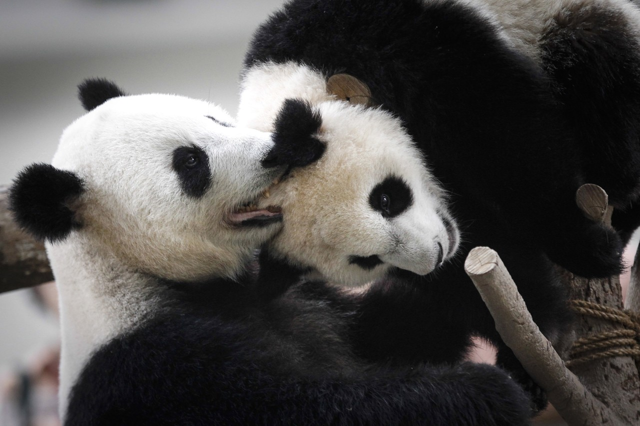 Liang Liang plays with her cub.