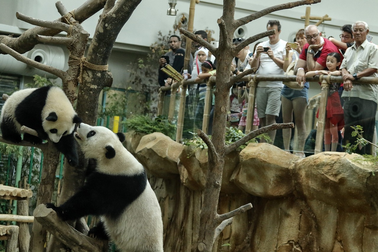 Zoo visitors enjoyed the pandas' play during the joint birthday celebration.
