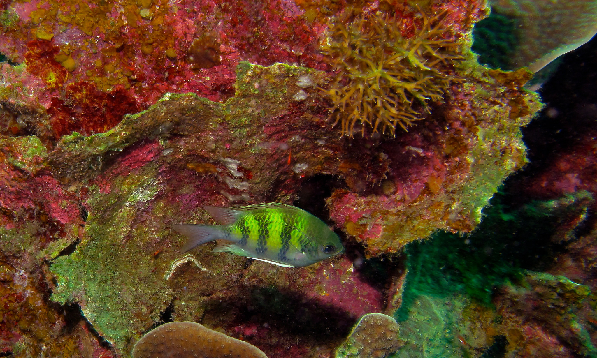 A Staghorn Damselfish spotted at the Sibuan Island