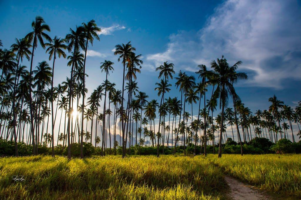 The coconut trees of Maiga Island
