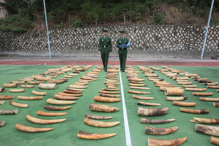Confiscated ivory in Zhuhai, China, 2016.