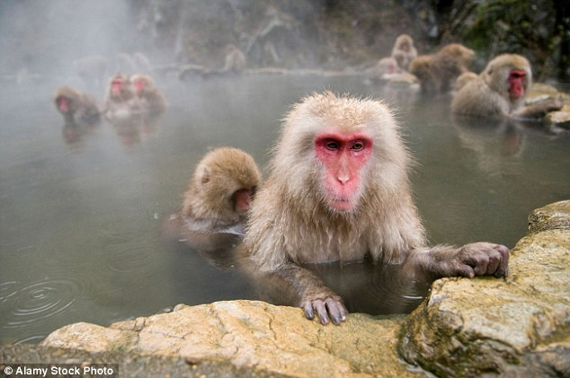 Photo of Japanese Macaque snow monkeys at Jigokudani Monkey Park used for illustration purposes only.