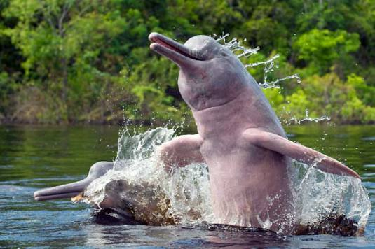 Image from Ganges River Dolphin/tumblr