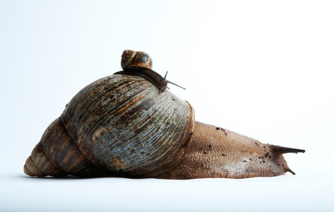 Common land snail vs. giant African land snail