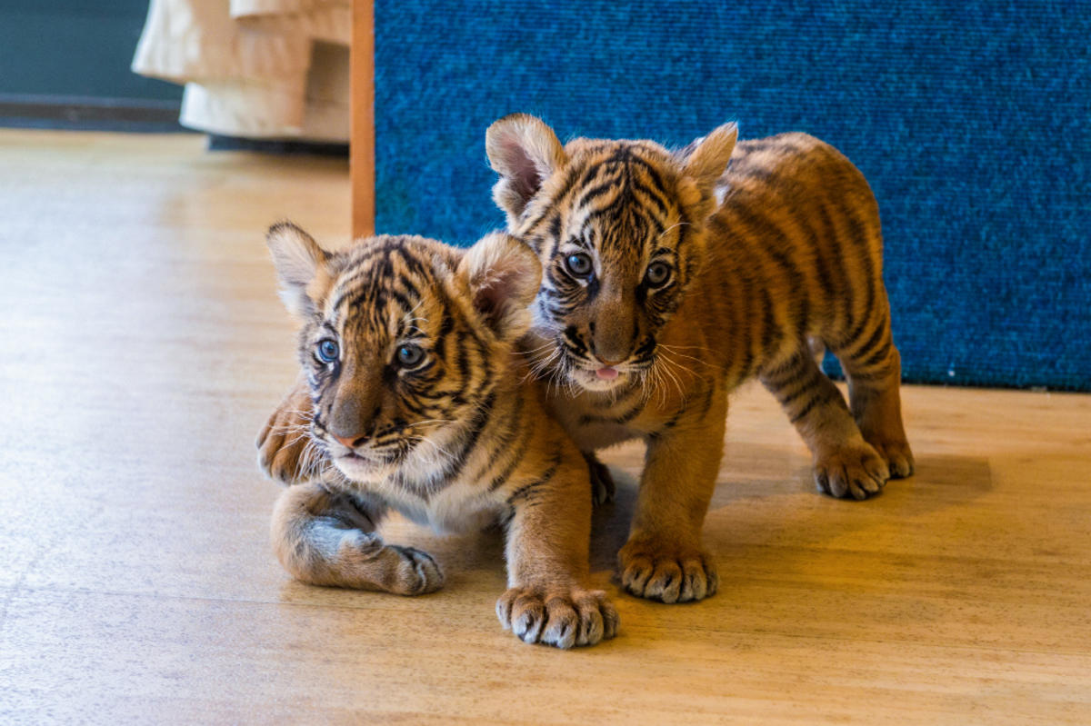 There Are Only 250 Malayan Tigers Left In The World. Here ...