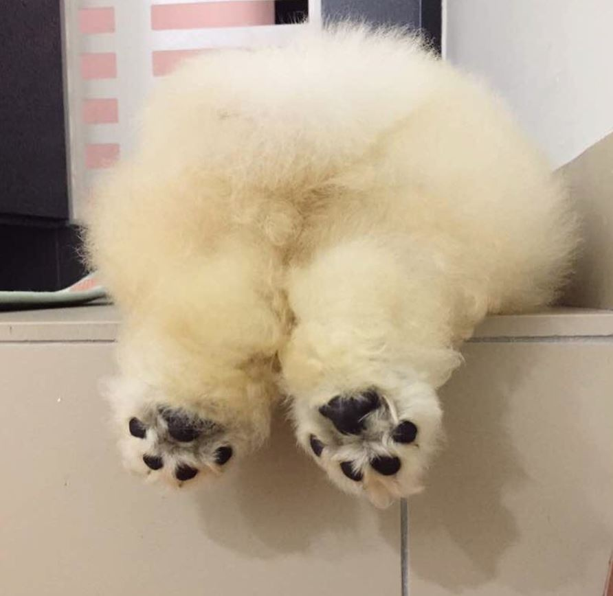 Instagram-Famous Pup, Puffie The Chow Has Died