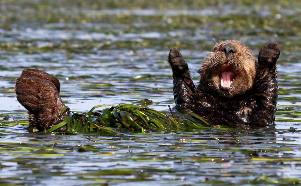 """""""Cheering Sea Otter"""" by Penny Palmer"""